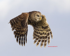 Barred Owl In Flight Three Lakes Wildlife Management Area (kevansunderland) Tags: birds canon owl barredowl birdinflight birdphotography floridabirds owlinflight threelakeswildlifemanagementarea barredowlinflight