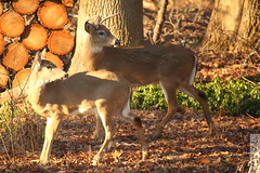 Two Bucks (wmliu) Tags: usa home mammal us newjersey wildlife nj deer creature antler 100400 wmliu