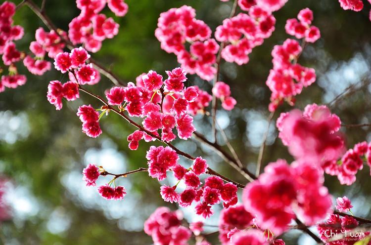 九族文化村櫻花祭-日08.jpg