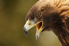 Profile Of A Golden Eagle (affinity579) Tags: wild bird closeup nikon quebec wildlife profile goldeneagle 70200mm ecomuseum 2xteleconverter specanimal d700