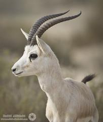 Gazelle (RASHID ALKUBAISI) Tags: nikon nikkor d3 qatar rashid 400mm      d3x alkubaisi d3s  ralkubaisi nikond3s mygearandme wwwrashidalkubaisicom