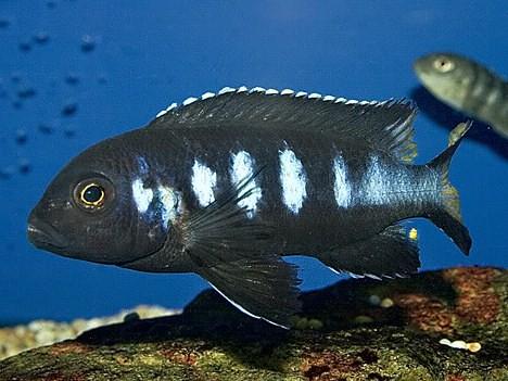 Pseudotropheus sp. 'elongatus' Chewere