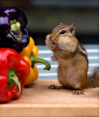 Eat Your Vegetables (SavingMemories) Tags: ontario canada cute feet vegetables mouse rodent stand hands squirrel critter wildlife chipmunk peppers chippy backyardwildlife eatyourvegetables savingmemories copyright2010 suemoffett
