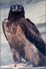 Bartgeier (anylifetime) Tags: vulture birdsofprey accipitridae greifvogel lammergeyer bartgeier lammergeier beardedvulture gypaetusbarbatus