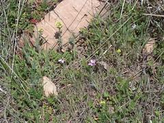 2011.04.01_13.03.52_CIMG5098 (andrey_zharkikh) Tags: alyssum erodium cicutarium alyssoides