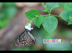 Blue Glassy Tiger Butterfly  *Shy Hide inside the Flower ^^ (Vivid+ Photography ) Tags: flowers blue plant flower color green butterfly insect fly wings tiger wing butterflies flies