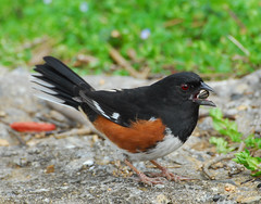 Watch close as I crack this sunflower seed - Male Eastern Towhee - High Point North Carolina (fazer53) Tags: bird nature birds photography nikon wildlife photographers northcarolina highpoint carolina d200 ornithology towhee easterntowhee guilfordcounty rufussidedtowhee 70300mmvr photographersshowcase fazer53