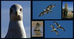 gulls (maggie224 -) Tags: gulls 61 tych matchpointwinner matchpointchampion