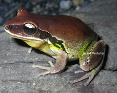 Litoria brevipalmata (Green-thighed Frog) (All Environmental and Conservation Services) Tags: green frog hylidae litoria jilliby brevipalmata thighed