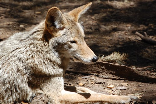 Coyote, Sulphur Creek Nature Center