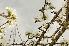 Farfalla-colibr (francescodefelicis) Tags: natura assisi umbria