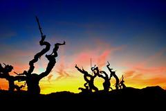 Posta de Sol, vinyes del Peneds, Barcelona. (Angela Llop) Tags: barcelona sunset spain wine eu catalonia vineyards penedes vision:sunset=0767 vision:outdoor=099 vision:sky=099 vision:clouds=0971