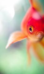 IMGP7867 (silence.sky18) Tags: pets fish goldfish pentax sadface pentaxk30