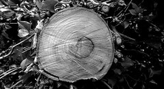 Cross Section (scotty NEX harper) Tags: bw white black tree cross cut sony rings section sonynex3n