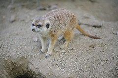 Meerkats. (LisaDiazPhotos) Tags: park nature meerkat san wildlife conservation diego safari sandiegozoo animalportrait lisadiazphotos sandiegozooglobal