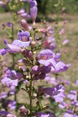 Penstemon spectabilis (Weeding Wild Suburbia) Tags: park gardens places publicgardens spnp