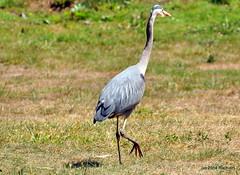 DSC_0278 (RachidH) Tags: sf sanfrancisco heron nature birds greatblueheron oiseaux héron ardeaherodias grandhéron rachidh sutroparkheights
