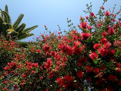 L.A. (dave87912) Tags: california blue red summer sky flower green losangeles spring cool sunny palm socal jacaranda 626 sgv