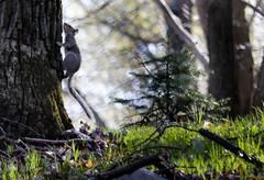2016-04-24 17.09.08-8.jpg (Michael Bateman) Tags: wildlife squirel