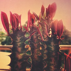 Cactus (rvcroffi) Tags: pink cactus plant planta folhas nature leaves closeup natureza corderosa mextures
