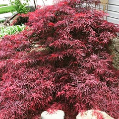Chinese Maple In my front Garden.... (steamboatwillie33) Tags: trees summer color home nature leaves yard garden outdoors spring indiana lacy 2016 chinesemaple