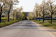 avenue in spring (Jules Marco) Tags: street morning trees flower nature canon austria sterreich spring natur bluesky bloom cloudless avenue blte bume morgen blauerhimmel niedersterreich frhling waldviertel allee loweraustria wolkenlos strase woodquarter eos600d tamron18270mmf3563diiivcpzd