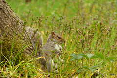 Grey squirrel , just chillin' (postman.pete) Tags: greysquirrel justchillin dance day de dog england europe fall family fashion festival film florida flower flowers food football france friends fun garden germany girl graffiti green halloween hawaii holiday house india iphone island italia italy hwcp colchester essex animal outdoor songbird wild deer lizard common plant bird wren sing blue bell pussy bee lady yellow weed pigeon liz ard texture abstract butterfly worm 22 spot ladybird