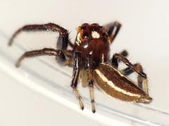 Colonus sylvanus (Ash Bradford) Tags: macro alexandria animal animals bug spider nps spiders arachnid flash bugs va arachnids jumpingspider arthropods animalia arthropoda nationalgeographic arachnida arthropod araneae salticid jumpingspiders salticidae dcr250 raynox bioblitz chelicerata araneomorphae thiodinasylvana thiodina chelicerate gwmp colonus thiodininae dykemarsh img8784 entelegynes chelicerates sx30 taxonomy:binomial=thiodinasylvana colonussylvanus taxonomy:binomial=colonussylvanus nationalcapitolparksbioblitz2016 npsnationalgeographic