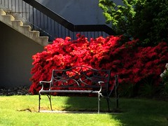 The chained bench: HBM! (peggyhr) Tags: red canada vancouver bench bc rhododendrons hbm peggyhr