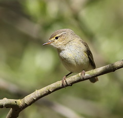 Chiffchaff or Willow Warbler? (Lutra56) Tags: nature birds warblers britishbirds britishbirdsandwildlife