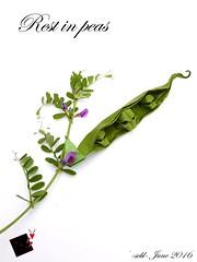 Rest in peas (-sebl-) Tags: plant paper skull origami foil tissue peas gmo monsanto ogm sebl origamishop