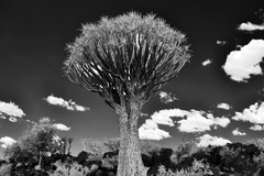 Standing Tall (zenseas : )) Tags: camping camp vacation blackandwhite bw holiday hot monochrome ir desert surreal dry infrared stark namibia arid digitalinfrared keetmanshoop quivertree kokerboom aloedichotoma quivertreeforest choje kokerboomwoud quivertreerestcamp