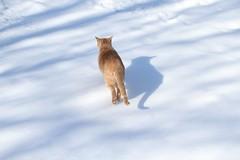 Jimmy in the snow (2 of 2) (Kerri Lee Smith) Tags: winter cats snow shadows jimmy tabbies felines orangecats sooc buffcats