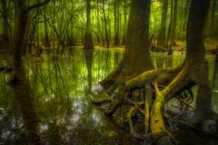 Ogeechee River swamp (MichaelSOwens) Tags: county green reflections river georgia moss roots bryan swamp cypress knees blackwater hdr coastalplain baldcypress ogeechee ogeecheetupelo