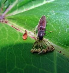 Left Click (Bricheno) Tags: macro insect scotland beetle escocia szkocja renfrew schottland scozia renfrewshire cosse  athoushaemorrhoidalis esccia   bricheno scoia