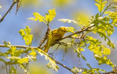 7K8A8810 (rpealit) Tags: bird nature yellow scenery wildlife area warbler hatchery pequest