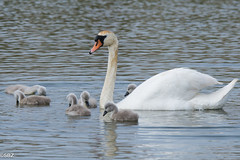 Mute Swan - Cygnus olor (stuboy72) Tags: swan mute cygnus olor