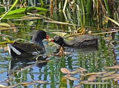 Feeding Time II (Bricheno) Tags: bird scotland escocia chick szkocja renfrew schottland moorhen scozia renfrewshire cosse  esccia   bricheno clydeviewpark scoia