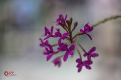 (SPP- Photography) Tags: morning flowers como flower nature canon morninglight petals purple blossom blossoms 100mm blooms blooming 6d flowersplants macro100mm marjoriemcneelyconservatory canon6d