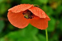 ~~Parapluie pour Lutins des champs...~~ (Jolisa) Tags: flowers red macro nature fleurs rouge eau pluie coquelicot gouttelettes juin2016