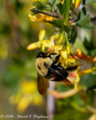 Bumblebee On Currant Flower (dcstep) Tags: aurora colorado unitedstates us y6a3470dxo cherrycreekstatepark canon7dmkii ef500mmf4lisii ef14xtciii handheld allrightsreserved copyright2016davidcstephens dxoopticspro1054 bee bumblebee currant currantflower