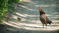 Mama Ruffed Grouse and Chicks (Wild Birdy) Tags: mn paulbunyanstateforest minnesota grouse chick chicks ruffedgrouse bird birds babies cute adorable road spring fledglings wild wildlife animal animals hubbard north