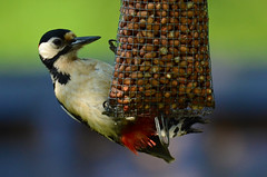 Great Spotted Woodpecker (Dendrocopus major) Female (Brian Carruthers-Dublin-Eire) Tags: bird major woodpecker greatspottedwoodpecker dendrocoposmajor buntspecht piciformes picépeiche grotebontespecht dendrocopos picidae greatspotted picchiorossomaggiore mórchnagairebreac carpinteropicapinos
