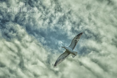 #311 of 365 - the gull - 210616 (Emily_Endean_Photography) Tags: sky animal clouds nikon gull seagul