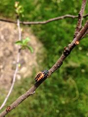 Harmonia axyridis (Harlequin Ladybird) (Plant Image Library) Tags: animal insect massachusetts beetle newengland larvae arnoldarboretum coccinellidae harmoniaaxyridis harlequinladybird