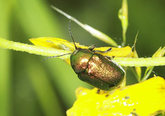 Leaf Beetle - Cryptocephalus aureolus (Prank F) Tags: macro nature closeup insect leaf wildlife beetle wildlifetrust cryptocephalusaureolus twywellhillsdales northantsuk