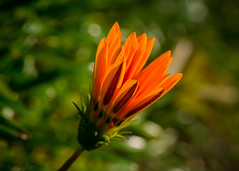 (hmxhm) Tags: newzealand flower macro nature olympus aotearoa