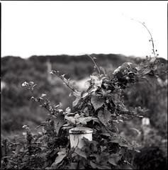 (ari@098) Tags: blackandwhite plant mediumformat alley d76 hasselblad okinawa delta100 naha ilford f28 120mm planar 80mm 500cm 66 selfdevelopment planart