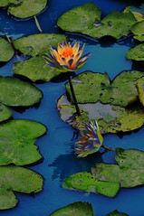 Water Lily Study 3 _Funky (Lim Ph Nhm) Tags: water waterlily lily waterlilies