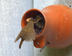 National Geographic Selection (William  Dalton) Tags: nest williamsburg wren birdnest geographic natioanl birdbottle housewren williamsburgvirginia williamsburgbirdbottle housewrennest nationalgeographicpublication